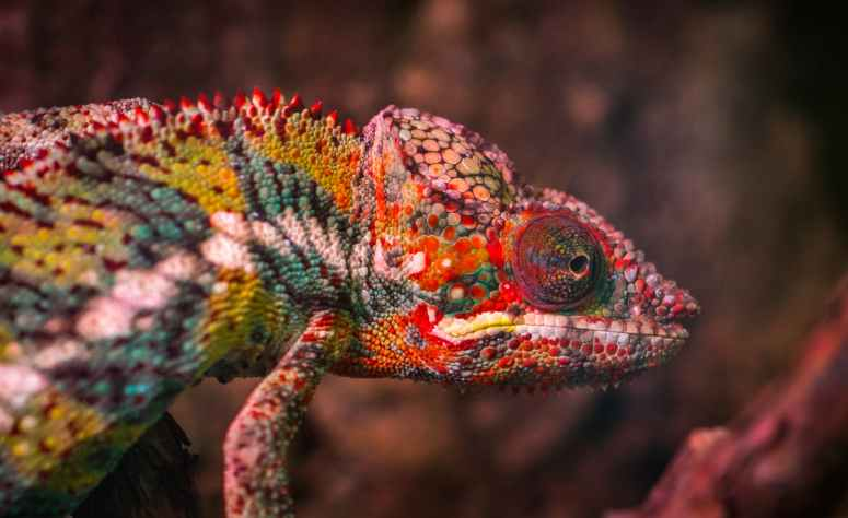 red white and green chameleon